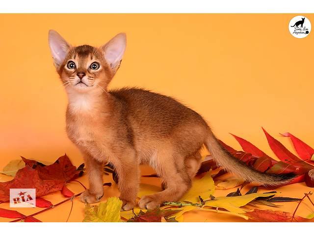 Абиссинские котята Sandy Lion- объявление о продаже  в Харькове