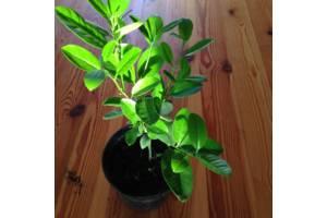 1-2 летнее дерево лимона