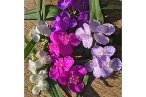 4 кольори традесканція традесканция традисканция традесканции цветы
