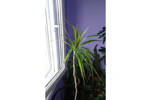 Драцена-домашняя пальма