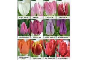 Голландский тюльпан(опт), прямой поставщик