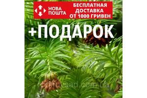 Куннингамия ланцетовидная семена (50 шт) (Cunninghamia lanceolata) для выращивания саженцев + подарок