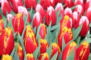 Луковицы тюльпанов из Голландии. Опт от 100 шт.