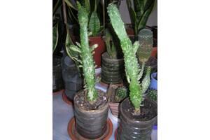 Опунции мраморные-оригинальные и причудливые растения