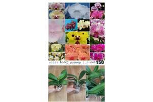 Орхидеи подростки АЗИЯ