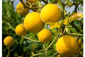 Понцирус трифолиата- дикий лимон