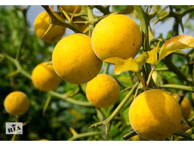 продам Понцирус трифолиата- дикий лимон бу в Тячеве