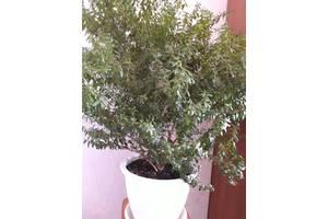 Продам миртовое дерево.