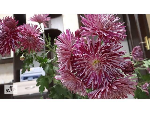 продам Продам садовую хризантему бу в Гайсине