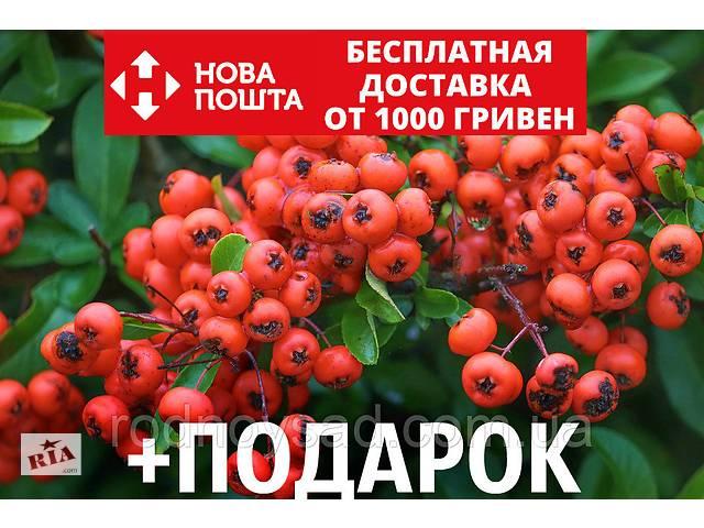 бу Пираканта ярко-красная семена (20 шт) Pyracantha coccinea для выращивания саженцев +подарок в Андреевке