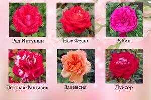 Роза саженцы. Кустовая роза, английская роза, роза спрей