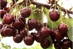 Саженцы вишни Шоколадница