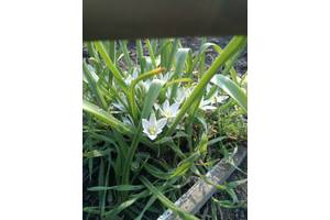 Цветы орнитогалум, птицемлечник. Сейчас цветёт. Рассада.