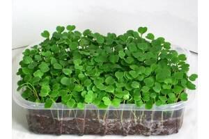 Выращиваем зелень на подоконнике. Готовый набор микрозелени
