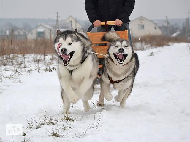 Аляскинский маламут. Вязка. КСУ.- объявление о продаже   в Украине