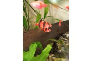 dc2f2d71085905 Добавить фото · Барбус GloFish червоний рибка акваріумна