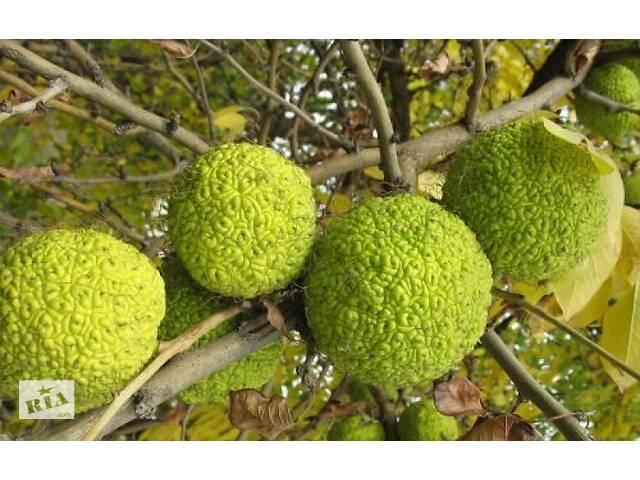 Адамово яблоко ( Маклюра) для лечения суставов, вен и новообразований