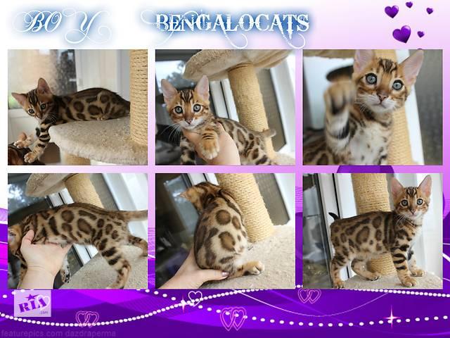 продам Бенгальские котята  бу в Киеве
