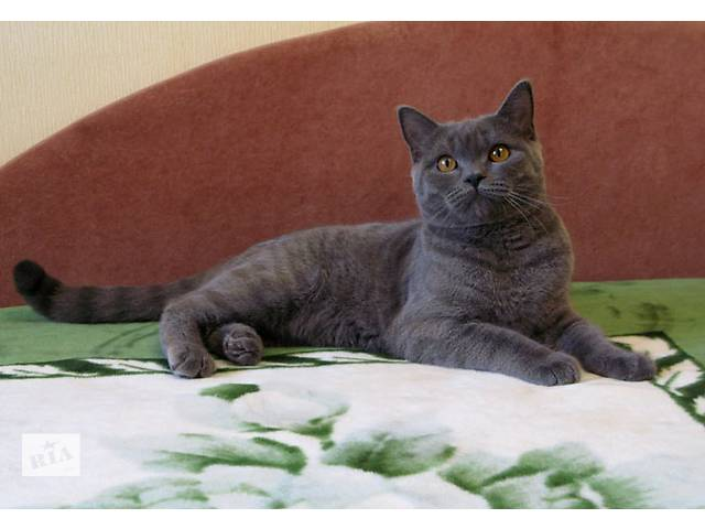 Бесподобный плюшевый котик. Голубой британчик.- объявление о продаже  в Харькове