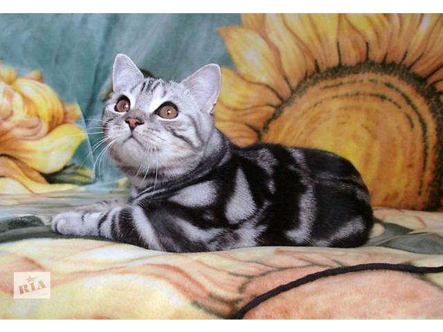 бу Британский котик IRIS классического мраморного окраса в Запорожье