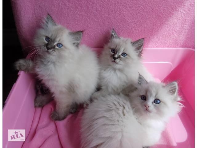 кошенятка невської маскарадної кішки- объявление о продаже  в Києві