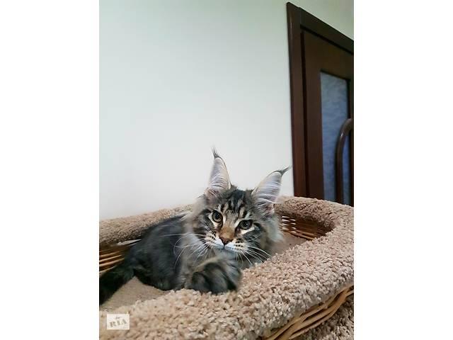купить бу Мейн кун котята в Киеве