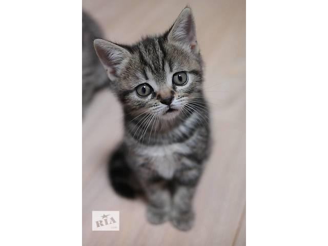 Мармурова прямоухая кішечка по кличці Кавунчик- объявление о продаже  в Вінниці