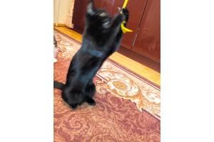 Бомбейские кошки