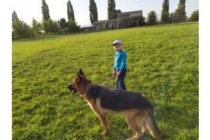 Собака німецька вівчарка, вівчарка для в'язки (злучки).