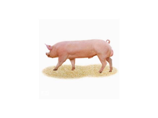 продам Племенные свинки и хряки бу в Белой Церкви