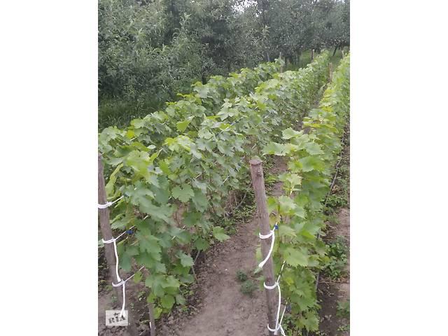 бу Продам саджанці винограду в Виннице