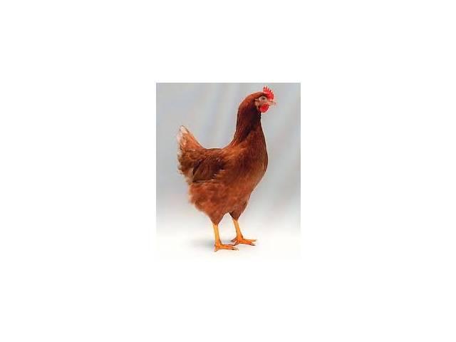купить бу молодые куры несушки Ломан Браун, 3 месяца, молодка, молодняк кур в Полтаве