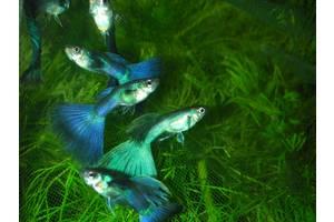 Гуппи Московская синяя. Аквариумная рыбка, живородка