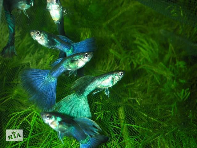 продам Гуппи Московская синяя. Аквариумная рыбка, живородка бу в Запорожье