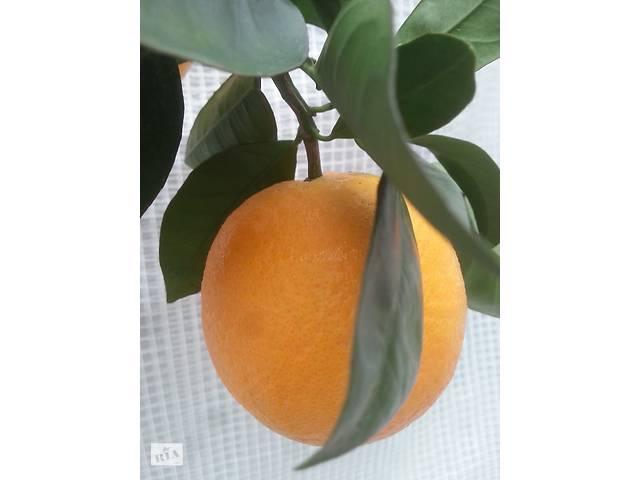 купить бу Апельсин Тарокко Россо в Киеве