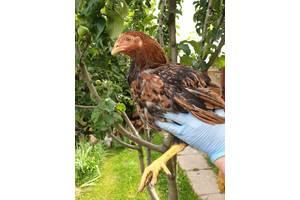 Цыплята Корниши Корнуэльские
