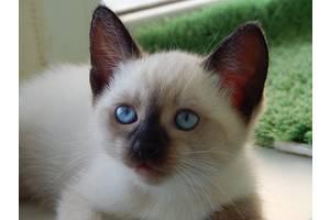 Тайские - сиамские домашние котята ДР 02.05.2020