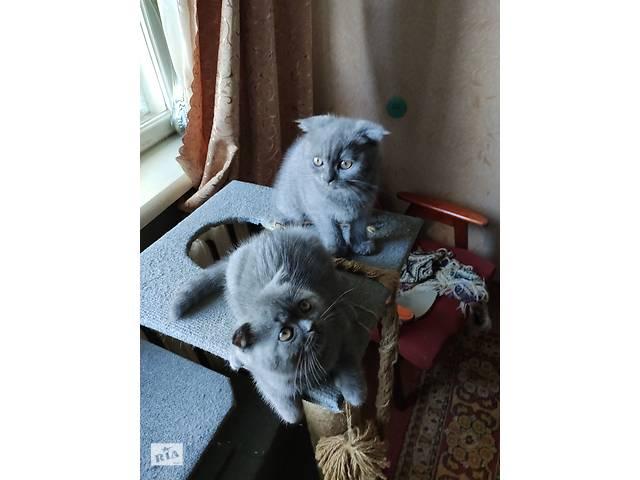 Продаются котята Шотландки (веслоухие)- объявление о продаже  в Житомире