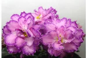 Фиалки Киев, детка стартер РС-Гранд Отель - огромные красивые цветы