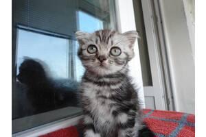 Продаю шотландских котят возрастом 1,5 мес., вислоухие (1600 грн.), прямоухие (1000 грн.)