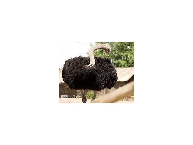 купить бу Продам взрослые страусы девочки в Киеве