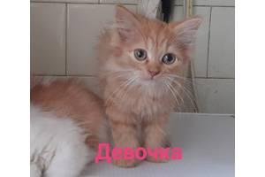 Котята  пушистые метис перса.