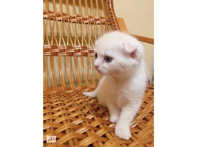 Шотландські кошенята- объявление о продаже  в Виннице