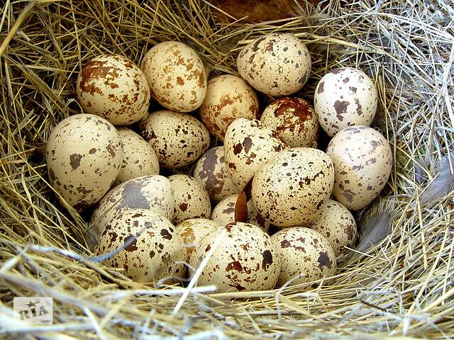 бу Продам домашние перепелиние яйца в Житомире