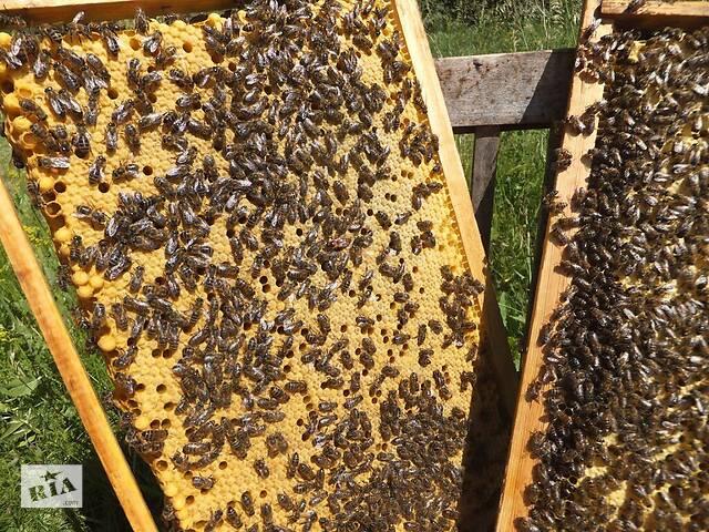 Пчелопакеты карпатской породы 5 рамочные- объявление о продаже  в Золочеве
