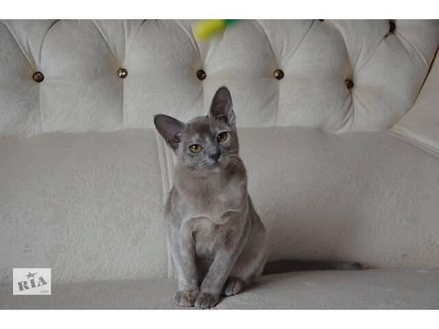 Продажа кошек породы бурма- объявление о продаже  в Кривом Роге