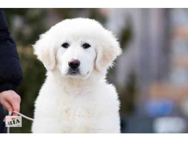 купить бу Продам щенка Маремма Украина, Днепропетровск в Днепре (Днепропетровск)