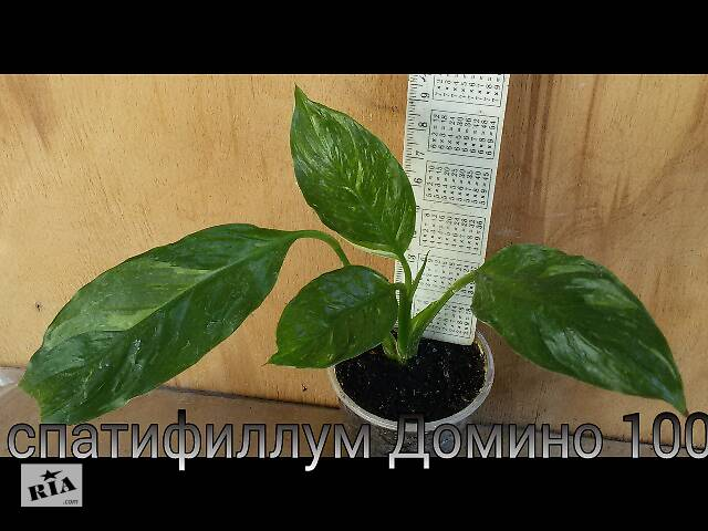 купить бу Спатифиллум Домино в Днепре (Днепропетровск)