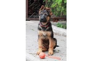 Best щенок немецкой овчарки