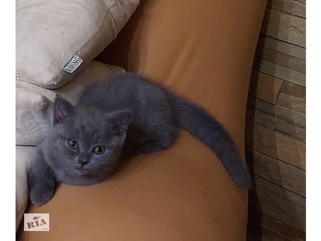 продам Шотландська прямовуха кішечка бу в Тернополі